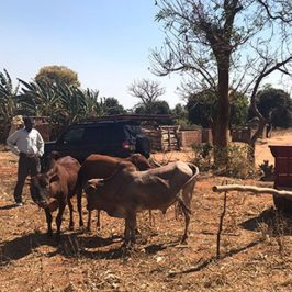 Cow Project in Malawi