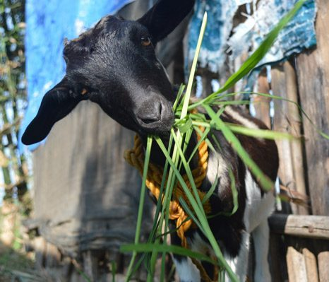 Goat Project - eating grass