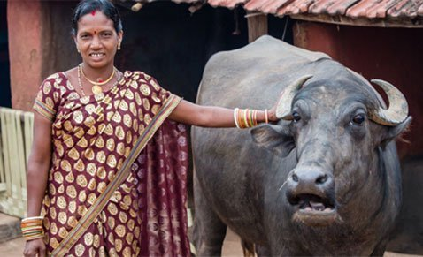 Agriculture - Indian woman with her water buffalo