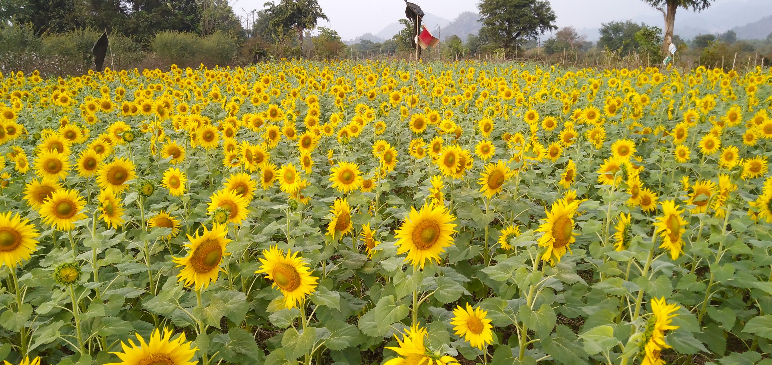 Sunflowers grown by Ghodabadi community members in India