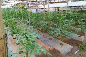Thanks to the efforts of community members in Nepal, the seedlings grew quickly and heartily.