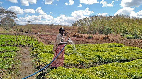 A woman in Congo waters some of the fast-growing, high-yield crops grown by her community teammates