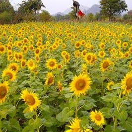 Sunflower field fed by new irrigation system in India community